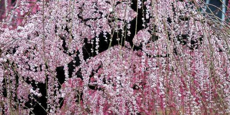 Япония - это не только цветение сакуры, но фестиваль сливы