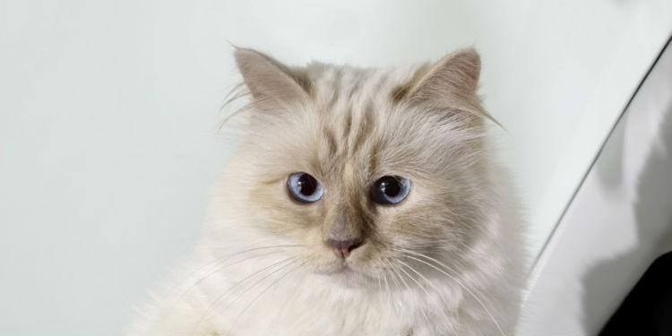 Бирманская Шупетт кошка