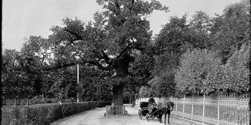дуб на Каменном острове (или «дуб», он лучше, но из «Адресов Петербурга»)
